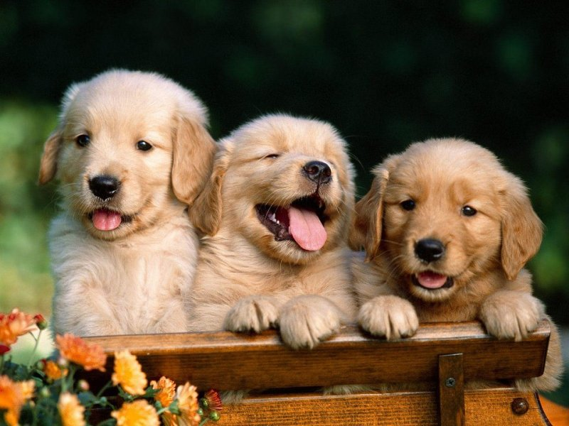 cute-lab-pups-pic-for-website