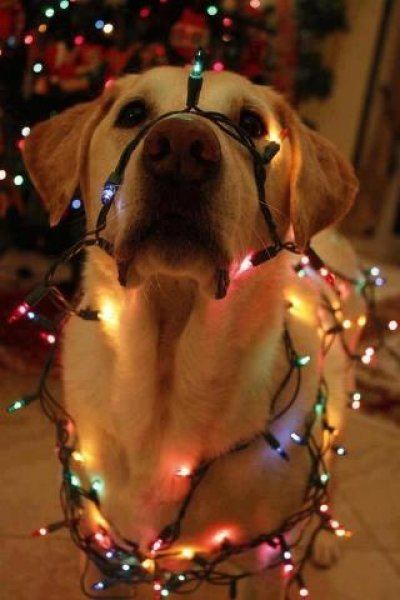 holiday-golden-lab