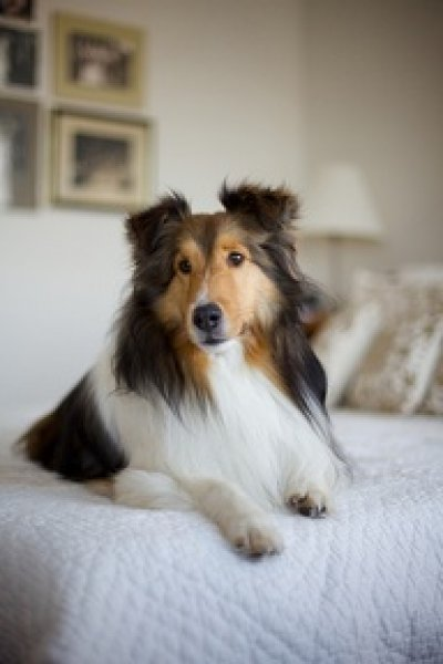 lassie-ii