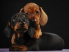 dachshund-brothers